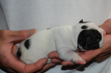 フレンチブルドッグの子犬の側面写真