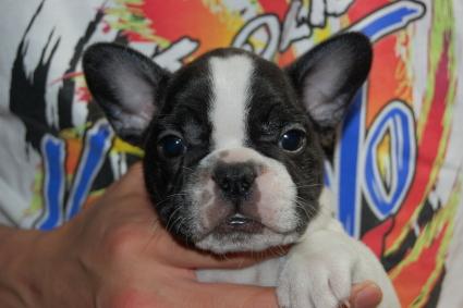 フレンチブルドッグの子犬の写真2