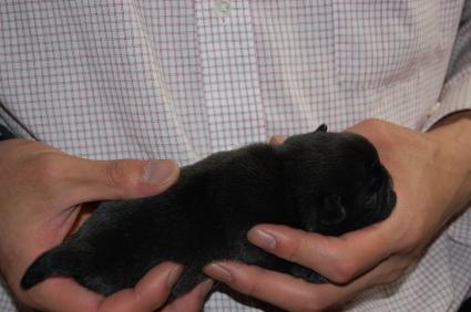 パグの子犬の側面写真2