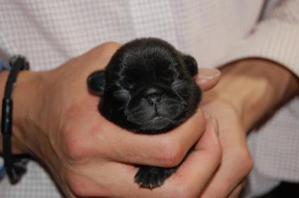 パグの子犬の写真3