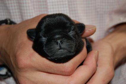パグの子犬の写真2