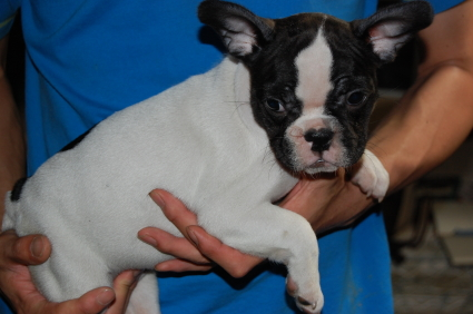フレンチブルドッグの子犬の側面写真3