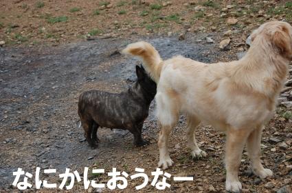 フレンチブルドッグとゴールデンレトリバーの写真2