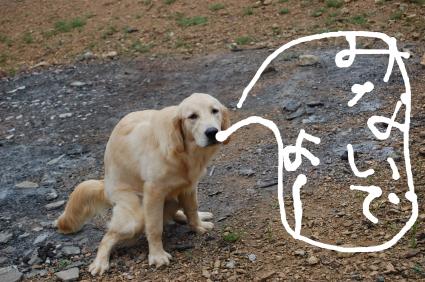 ゴールデンレトリバーのミルクの写真3