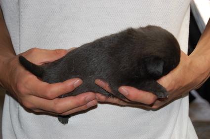 パグの子犬の側面写真3