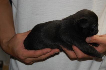 パグの子犬の側面写真