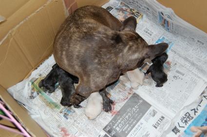2008年8月6日産まれのフレンチブルドッグ子犬の写真