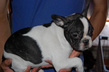 フレンチブルドッグの子犬の側面写真2