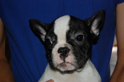 フレンチブルドッグの子犬の写真3