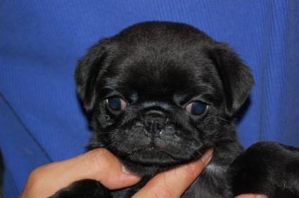 パグの子犬の写真