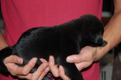 パグの子犬の側面写真1