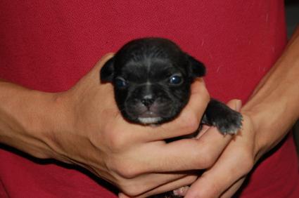 フレンチブルドッグの子犬の写真6