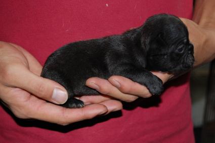 フレンチブルドッグの子犬の側面写真6
