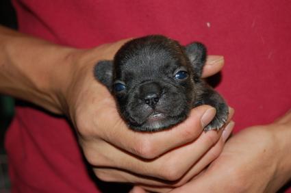 フレンチブルドッグの子犬の写真7