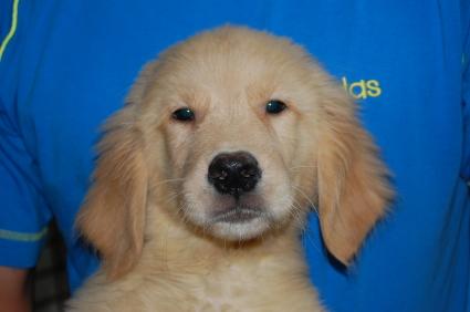 ゴールデンレトリバーの子犬の写真No.200806151