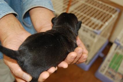 パグの子犬の写真No.200810151-2