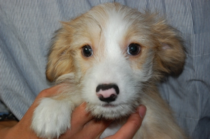 チャイニーズクレステッドドッグの子犬の写真