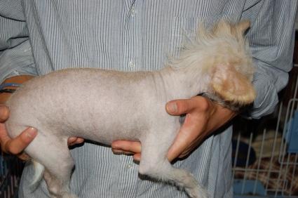 チャイニーズクレステッドドッグの子犬の写真4