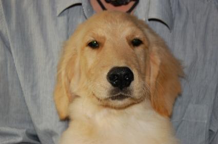 ゴールデンレトリバーの子犬の写真No.200806152