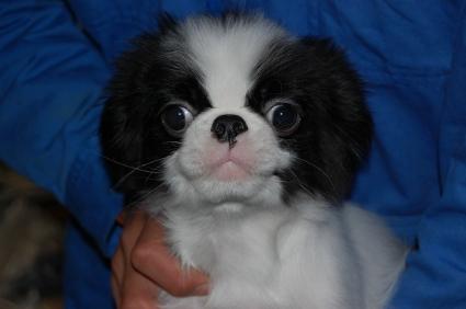 狆(チン)の子犬の写真