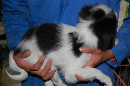 狆(チン)の子犬の写真2