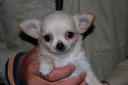 ロングコートチワワの子犬の写真No.200811181