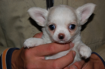 ロングコートチワワの子犬の写真No.200811182