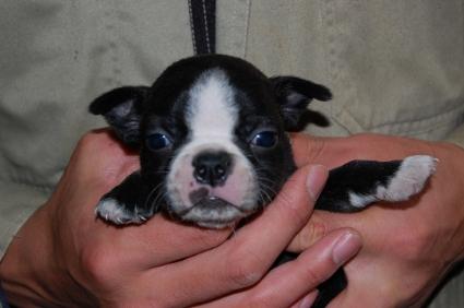 ボストンテリアの子犬の写真No.200812071