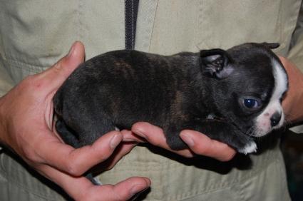 ボストンテリアの子犬の写真No.200812071-2