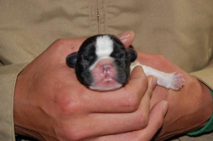 フレンチブルドッグの子犬の写真200901071