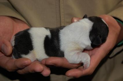 フレンチブルドッグの子犬の写真200901071-2