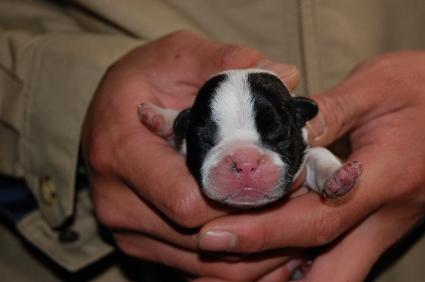 フレンチブルドッグの子犬の写真200901072