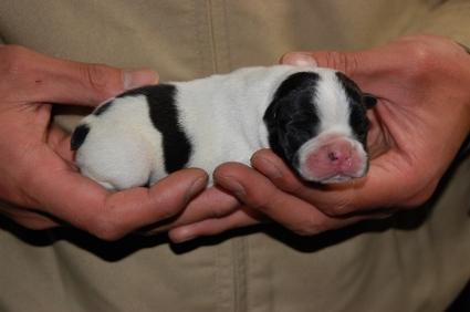 フレンチブルドッグの子犬の写真200901072-2