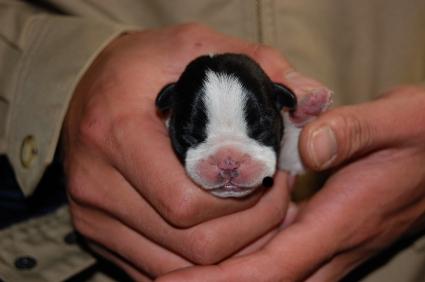 フレンチブルドッグの子犬の写真200901073