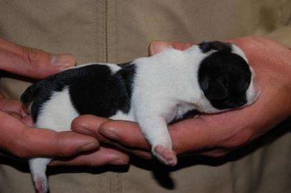 フレンチブルドッグの子犬の写真200901073-2