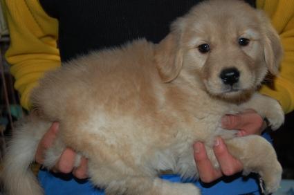 ゴールデンレトリバーの子犬の写真20081230-2