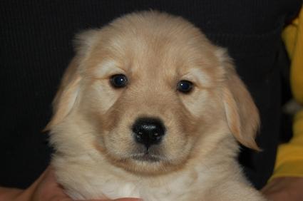 2008年12月30日産まれのゴールデンレトリバー子犬の写真