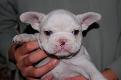 2009年1月1日産まれのフレンチブルドッグ子犬の写真