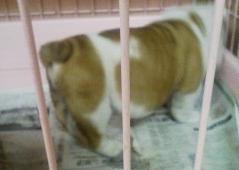 ブルドッグの子犬の写真No.200901071-2