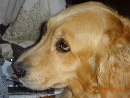 ゴールデンレトリバーのココアの写真2