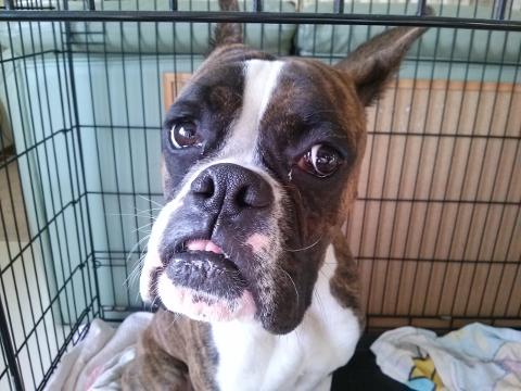 ボクサー犬のビビの写真