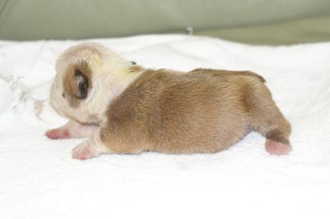ブルドッグの子犬の写真201211055-2