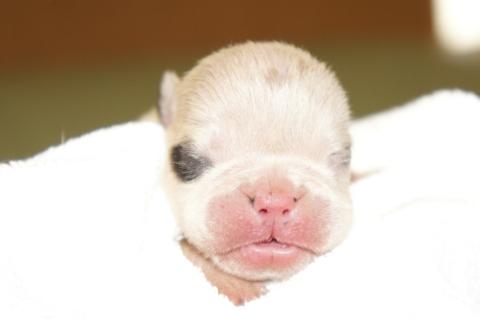 ブルドッグの子犬の写真201211053