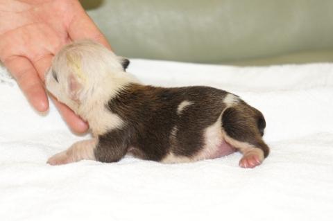 ブルドッグの子犬の写真201211053-2