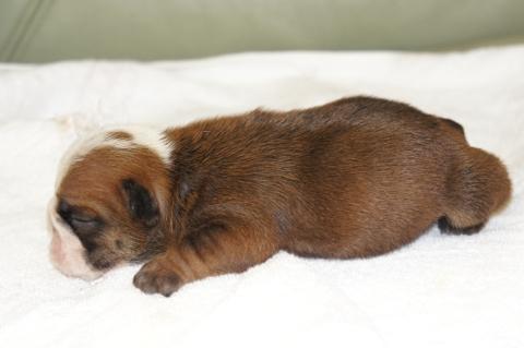 ブルドッグの子犬の写真201211054-2