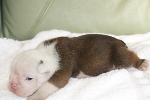 ブルドッグの子犬の写真201211051-2