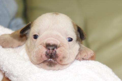 ブルドッグの子犬の写真201211052