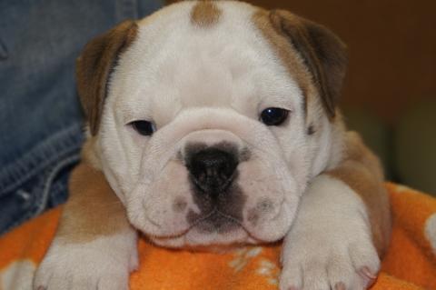 ブルドッグの子犬201211052