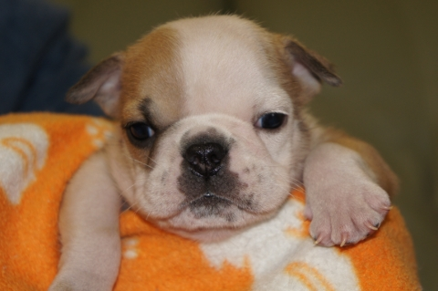 ブルドッグの子犬の写真201211055