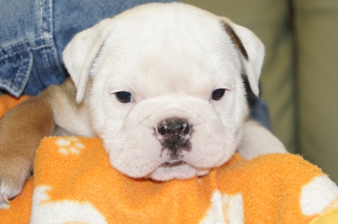 ブルドッグの子犬の写真201211051